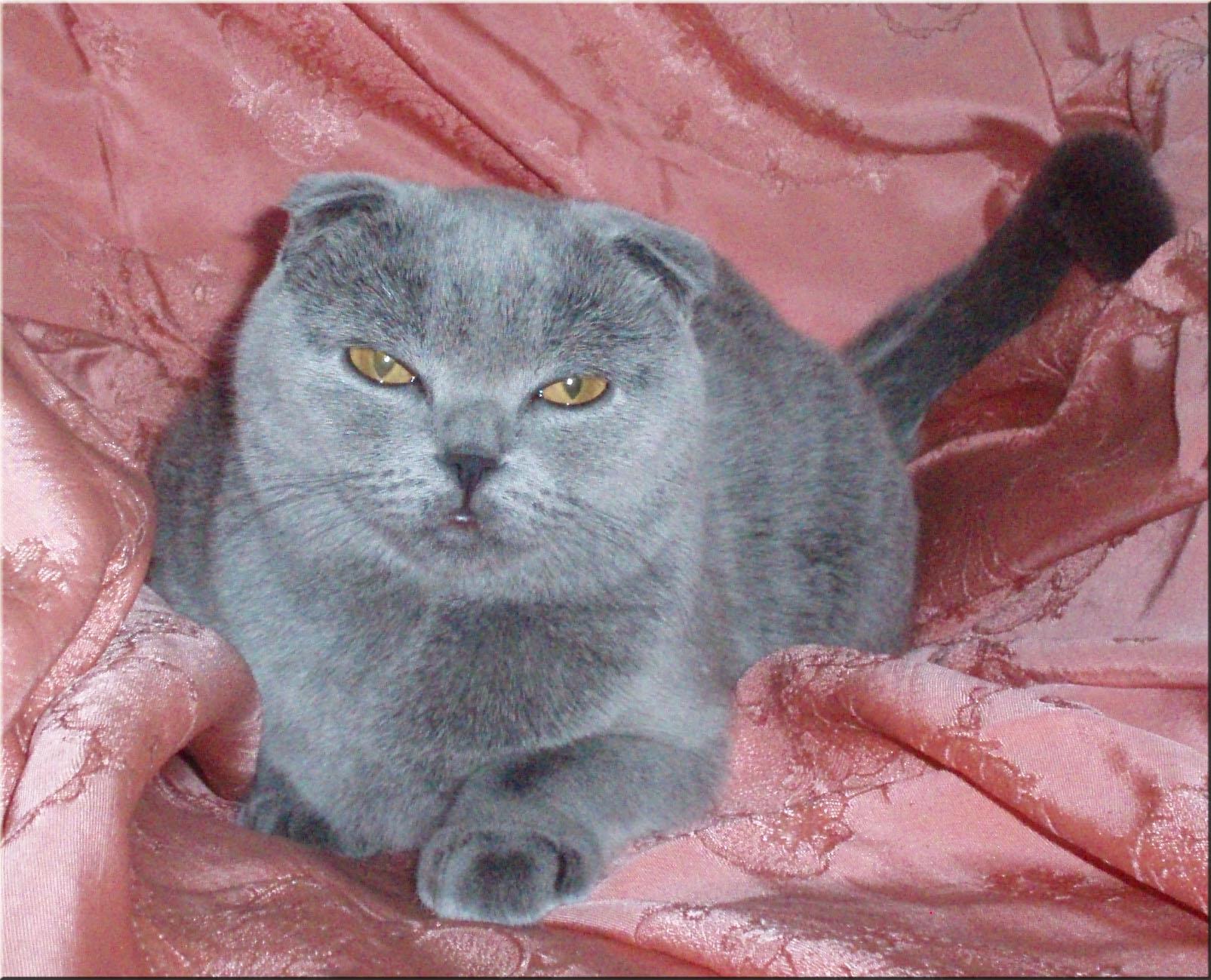 Кошки шотландские вислоухие кошки